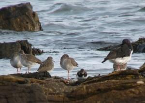 Redshank, oystercatcher and ringed plover on Dornoch coast.