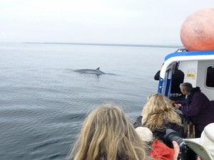 Watching a Minke whale from the Sheerwater