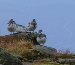 Some of the many ptarmigans on Cairngorm summit.