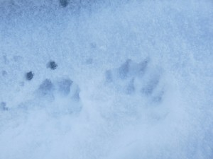 Otter footprints in snow