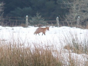 Fox in the snow walking by fence