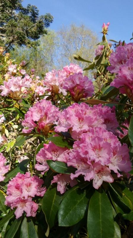 Rhododendrons in garden
