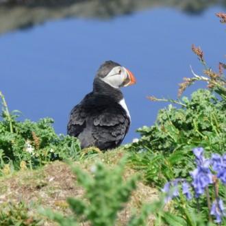 puffin on Treshnish Isles