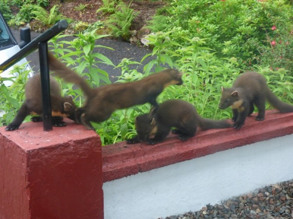 pine marten family on wall