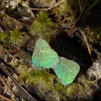 Pair green hairstreak butterflies