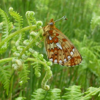 Pearl bordered fritilary