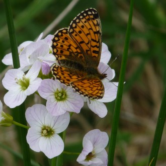 Small pearl-bordered fritillary on cuckoo flower