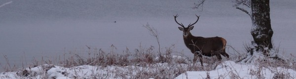 Stag in snow Loch Lochy header
