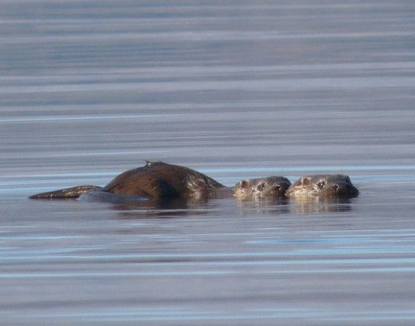 Two young otters watching