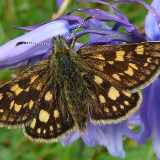 Chequered skipper on bluebell