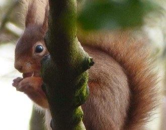 Red Squirrel feeding