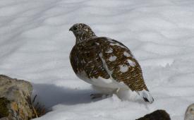 Female ptarmigan in snow