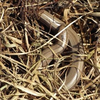 Basking slow worm