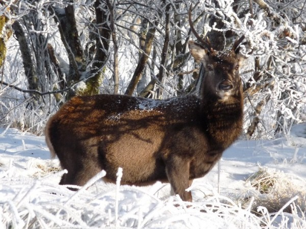 Stag under a tree in deep snow
