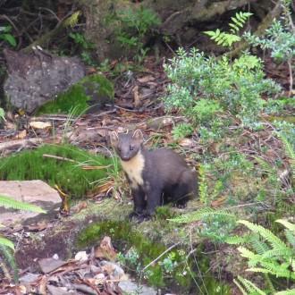 Young pine marten in garden