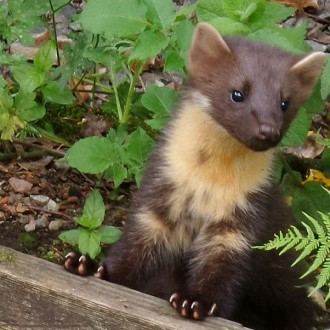 young pine marten investigating garden