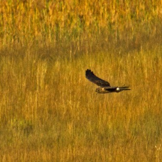 Hen Harrier Insh Marshes