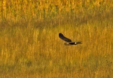Hen Harrier Insh Marshes