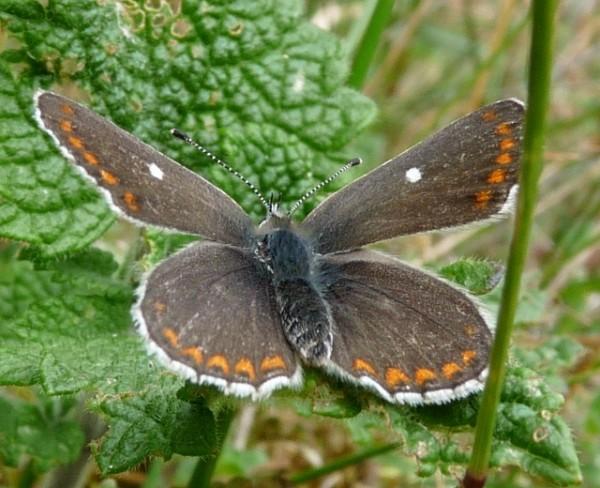 Northern brown argus
