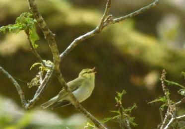 Wood warbler, Aruindle