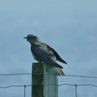 cuckoo on post