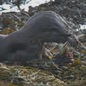 Otter eating scorpion fish