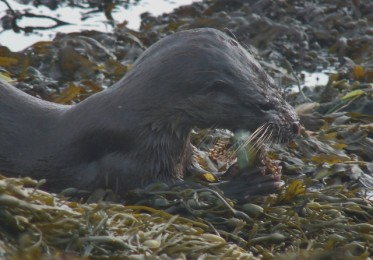 Otter eating scorpion fish