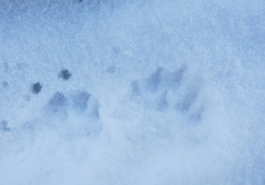 otter prints in snow