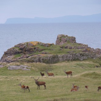 Stag and harem, Skye in background