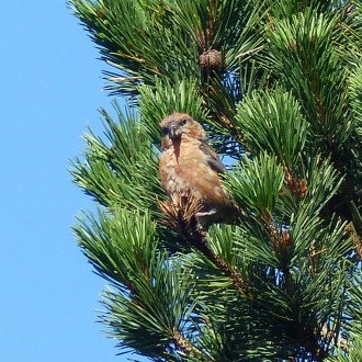 crossbill-by-Barry-Dyson