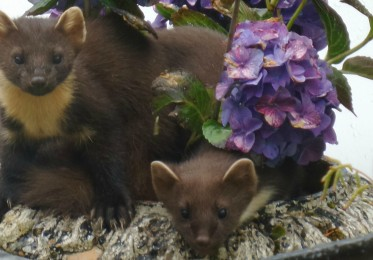 Young pine martens in hydrangea plant pot