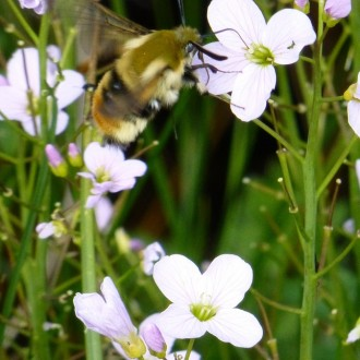 Narrow bordered bee hawkmoth on cuckoo flower small