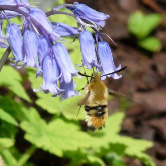 narrow-bordered bee hawk moth
