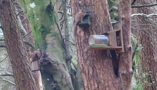 Squirrels at Insch Righ over Christmas