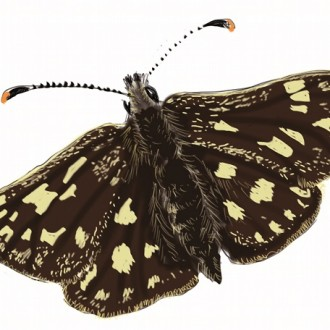 chequered skipper sketch