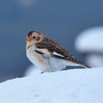 Snow bunting Cairngorm