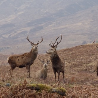 Group of stags at Loch Arkaig