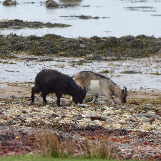 Feral goats on the beach at Kingairloch