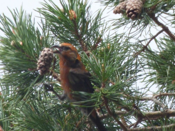 Scottish crossbill enjoying a cone in Glenmore forest