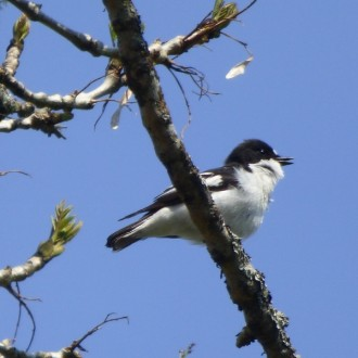 pied flycatcher singing near Loch Arkaig