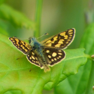 Chequered skipper on oak leaf