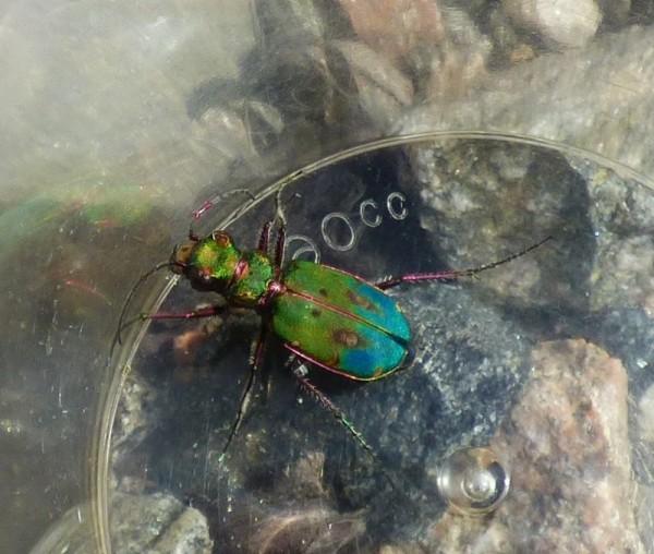 Strange tiger beetle