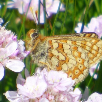 Marsh fritillary on thrift