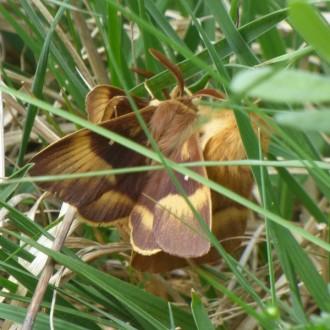 mating northern eggars