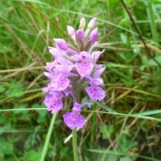 Orchid, Lochaline