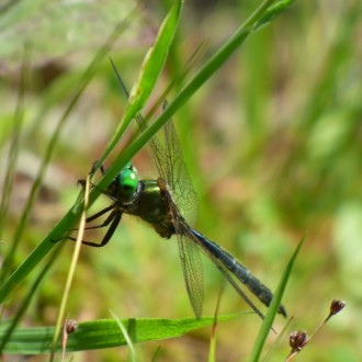 Northern emerald dragonfly