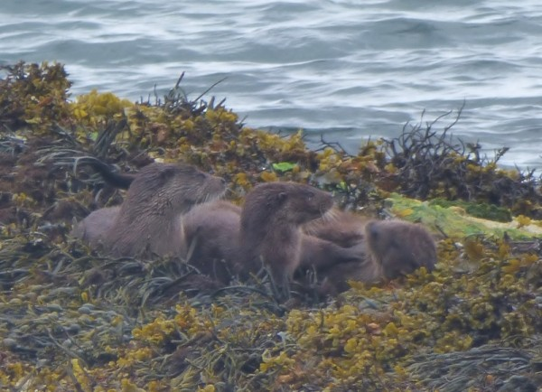 Family of otters on rock