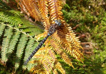 An obliging common hawker