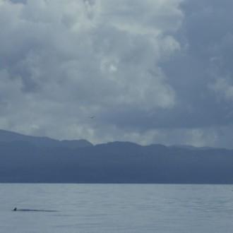 Distant minke whale