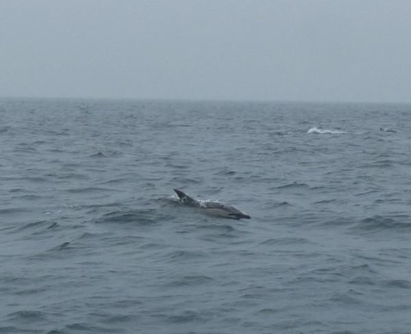 Dolphin near Coll